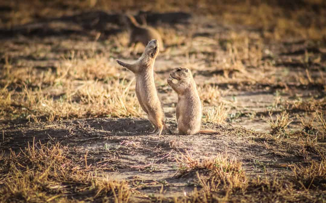 Wildlife of South Dakota and Northern Great Plains: Where & What to See
