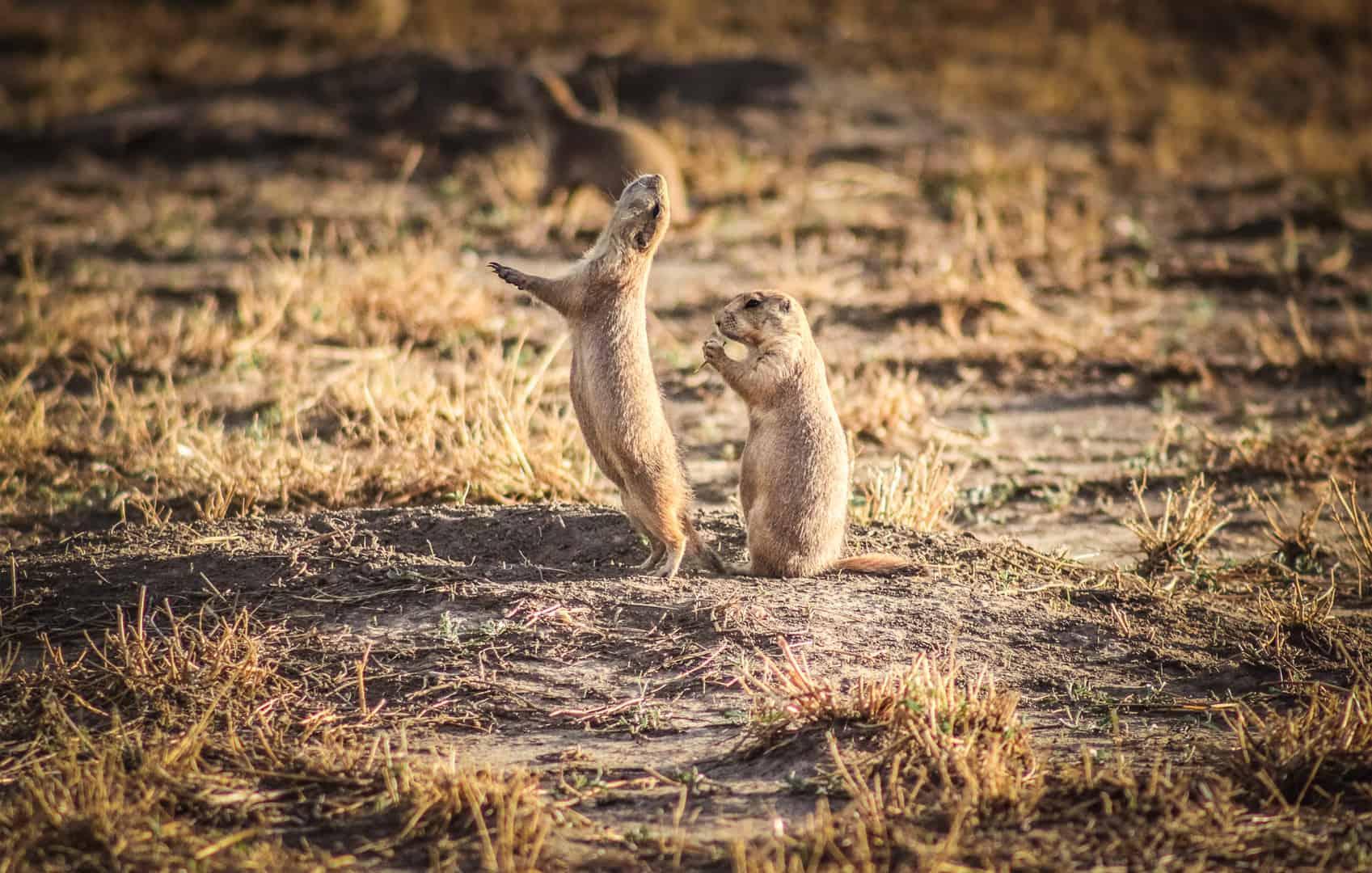 Prairie Dogs in Badlands National Park, South Dakota