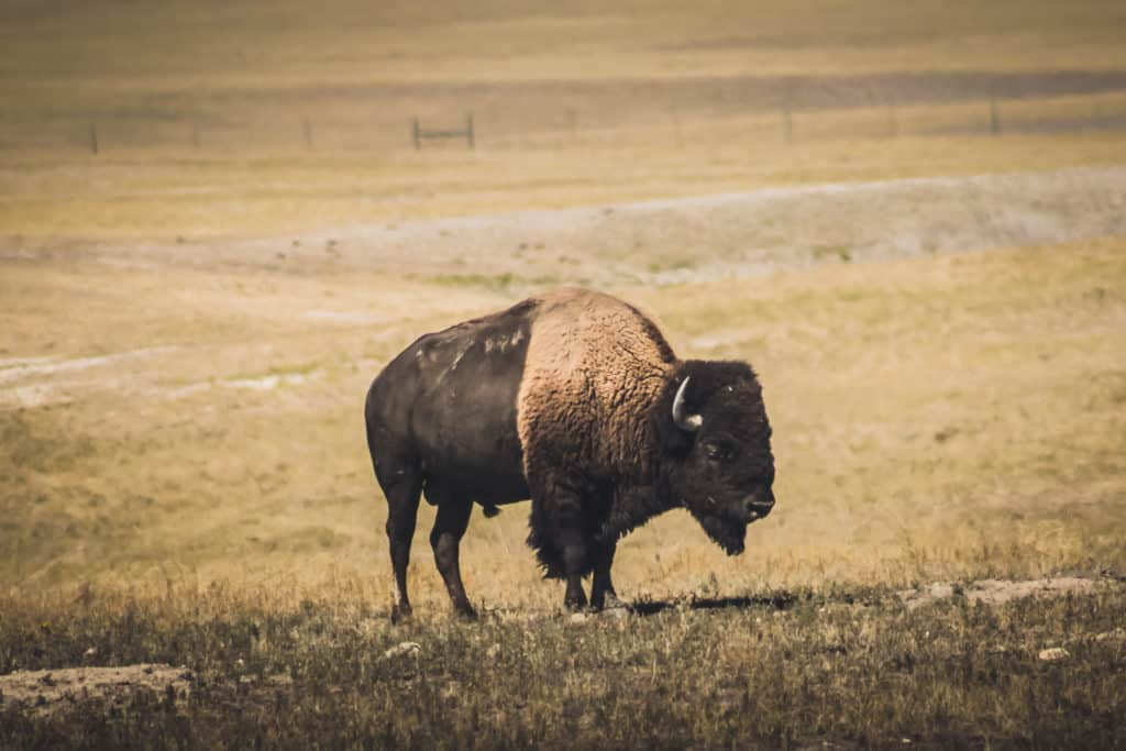 Bison in Badlands National Park, South Dakota