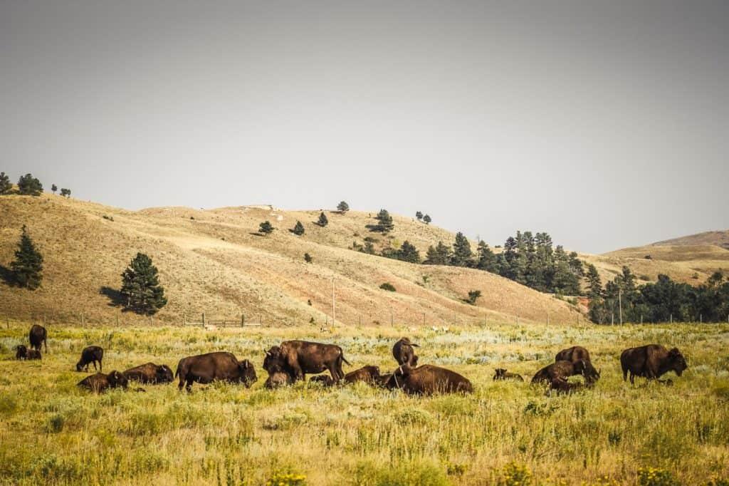 Bison herds in Custer State Park, South Dakota