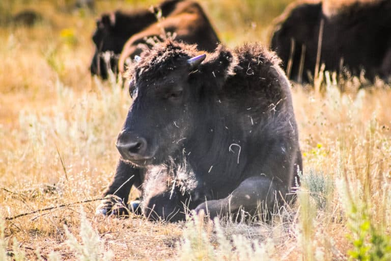 15 Best Things to do in Custer State Park, South Dakota