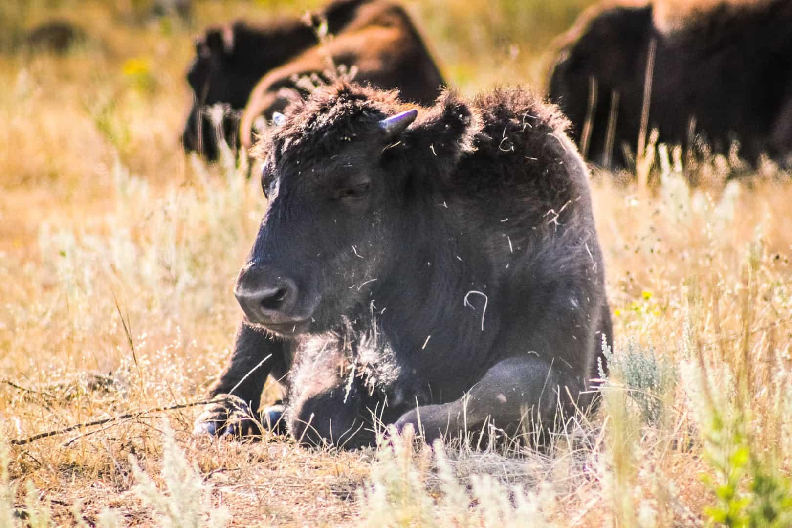 Bison herds on Wildlife Loop Road in Custer State Park, South Dakota
