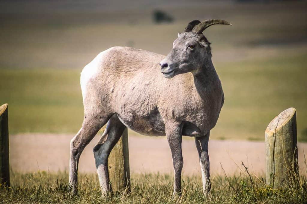 Mountain goat in Badlands National Park, South Dakota