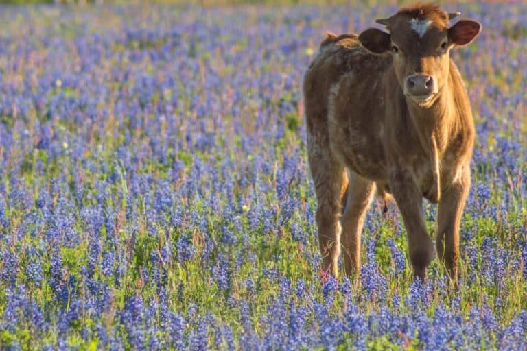 Texas Bluebonnets: The ultimate travel guide