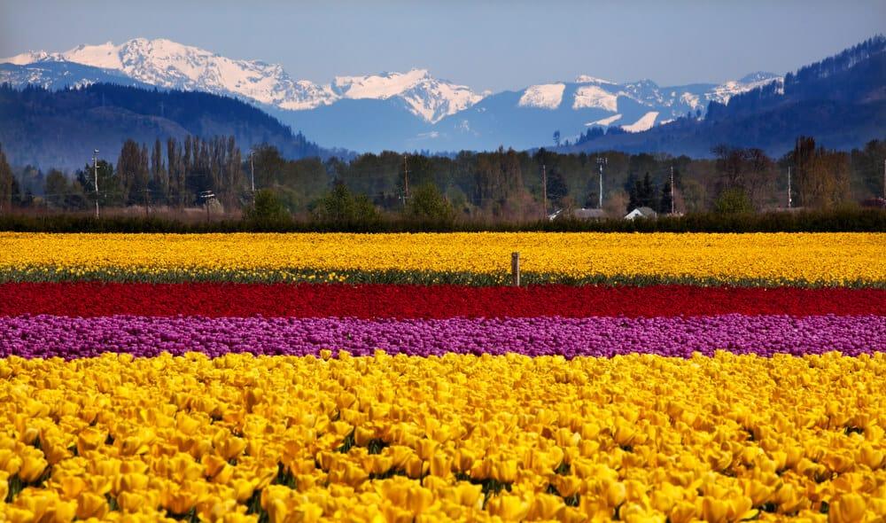 tulip fields in Skagit Valle, Washington