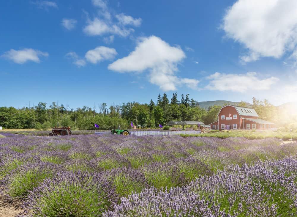 Lavender field in Sequim,Washington