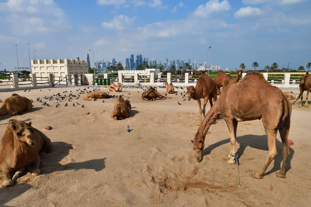 Camels in Camel Souq, Souq Waqif