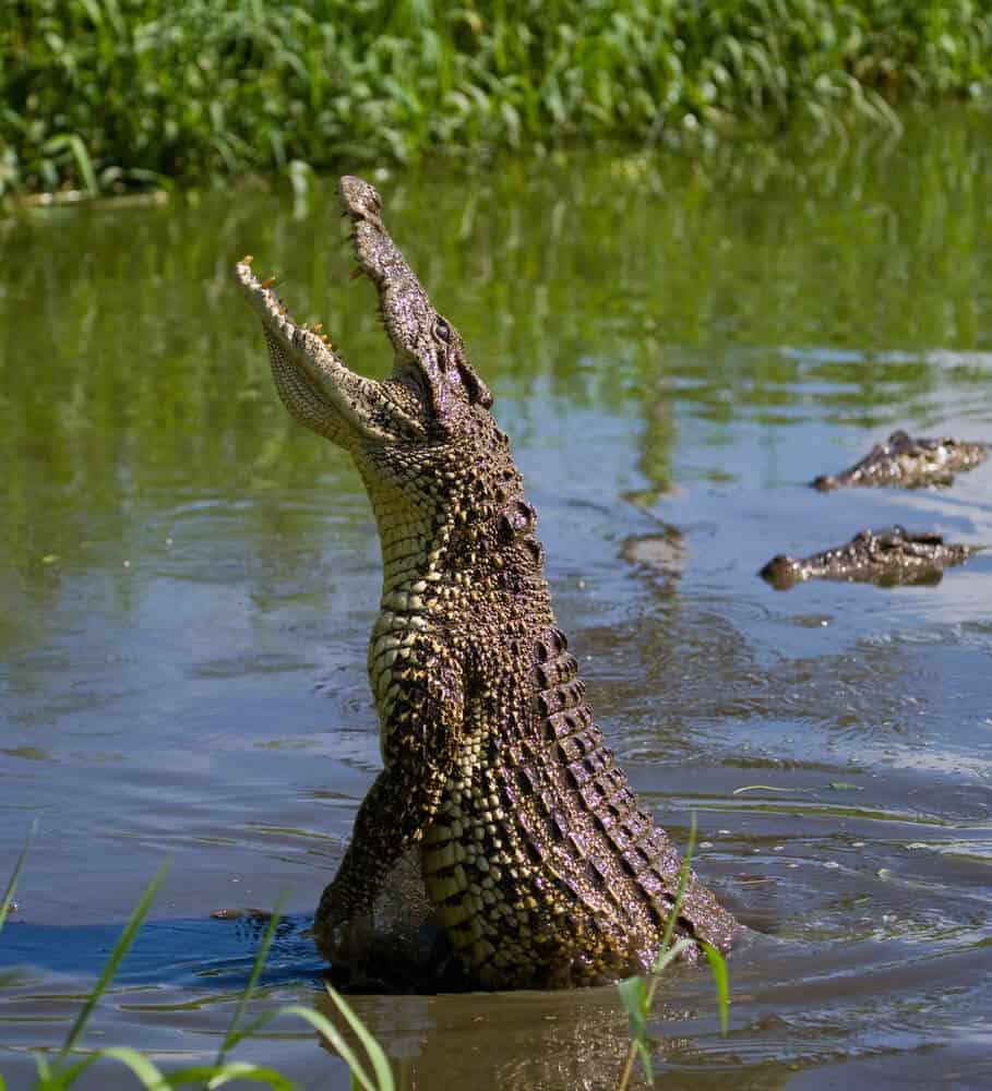 Alligator in Everglades National Park Florida