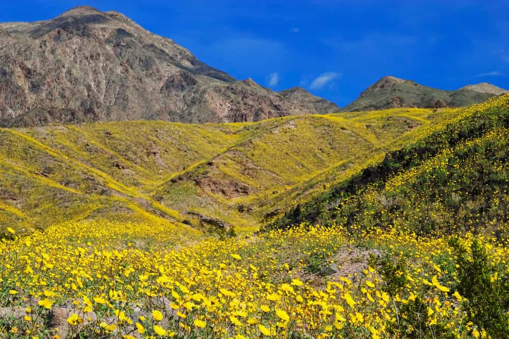 Death Valley National Park superbloom in California