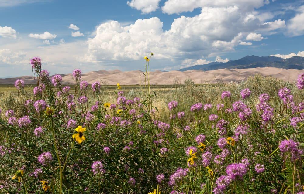 Great Sand Dunes National Park wildflowers Colorado