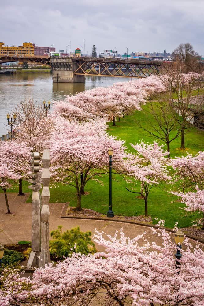 Portland downtwon waterfront along Willamette river, with cherry blossom