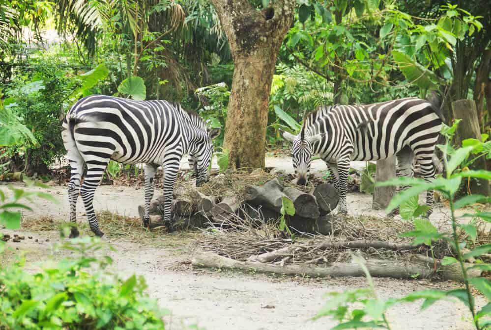 Zebras inside Miami Zoo Miami Florida