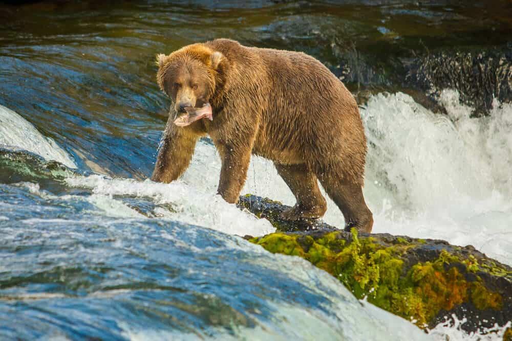Alaskan Bear in Katmai National Park